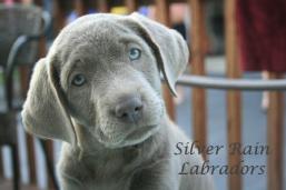 Silver Rains Main Website Cheryl Silver Rain Labradors Ostrander